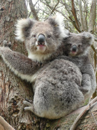A mother and joey koala from French Island in Victoria