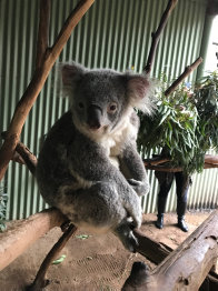 A sleepy-looking koala at Featherdale