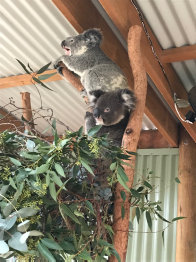 Two koalas playing at Featherdale Wildlife Park