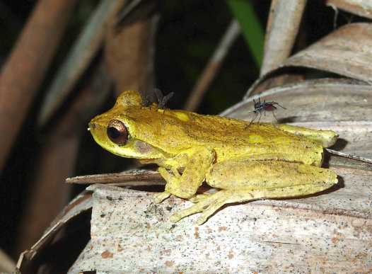 Two parasite species feeding on a Whirring Tree Frog