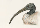 White Ibis by Samantha Bayly, watercolour illustration, 2018