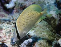 Citron Butterflyfish at Pixie's Pinnacle