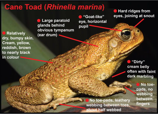 Cane Toad identification