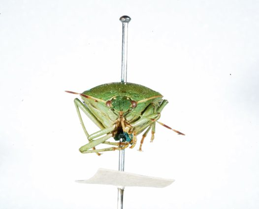 Green Vegetable Bug specimen