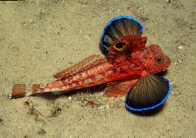 Spiny Gurnard at Fly Point