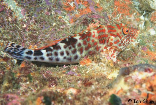 Splendid Hawkfish at North Solitary Island