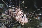 A Common Lionfish at 'Steve's Bommie'