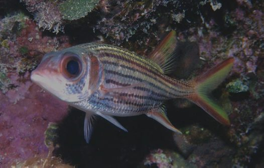 Slender Squirrelfish at Bougainville Reef