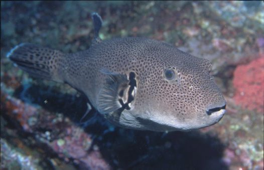 A Starry Pufferfish, Arothron stellatus, at South Solitary Island
