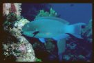 A Steephead Parrotfish at 'Pixies Reef'