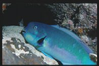 A Steephead Parrotfish photographed at night at Osprey Reef