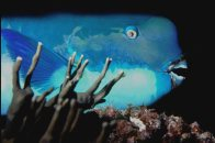 Head of a Steephead Parrotfish photographed at night