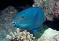 A Steephead Parrotfish at Osprey Reef