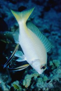 Common Cleanerfish cleaning a monocle bream