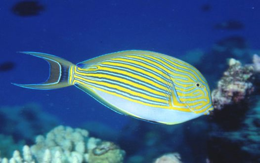Striped Surgeonfish at Osprey Reef
