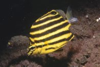 Stripey with parasitic fish louse