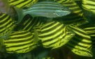 Stripeys and Eastern Striped Grunter
