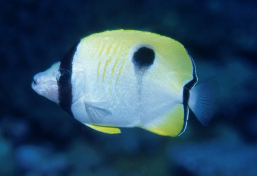 A Teardrop Butterflyfish at Rapid Horn