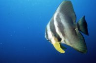 Roundface Batfish at Fish Rock