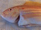 Theodore's Threadfin Bream