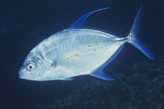 A Thicklip Trevally at North Solitary Island