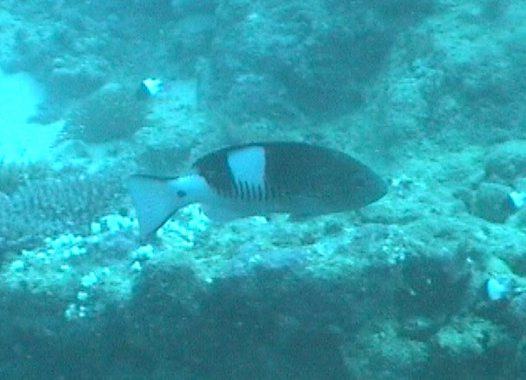 A Thinspine Grouper at Tavarua Wall