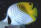 Threadfin Butterflyfish at Tijou Reef