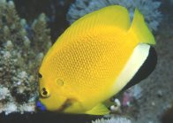 Three-Spot Angelfish, Apolemichthys trimaculatus