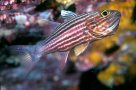 A Tiger Cardinalfish at North Solitary Island