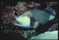 A Titan Triggerfish at Harrier Reef