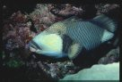 Titan Triggerfish at Harrier Reef