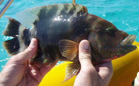 Tripletail Maori Wrasse caught near Ningaloo Reef