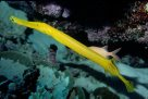 Trumpetfish at Harrier Reef