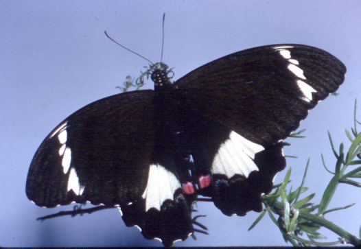 Adult male Orchard Butterfly