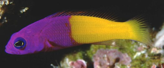 Bicoloured Dottyback at 'Pixie's Pinnacle'