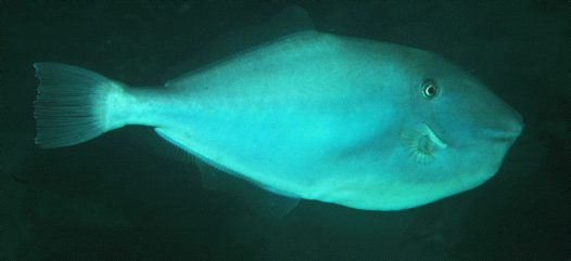 A Unicorn Leatherjacket at Fly Point Marine Reserve, Port Stephens