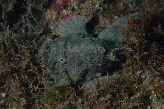 An undescribed Anglerfish at Bare Island