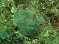 An undescribed Anglerfish in Botany Bay