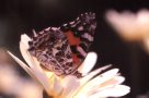 Australian Painted Lady on flower