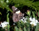 Australian or Yellow Admiral Butterfly