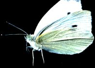 Adult Cabbage White Butterfly