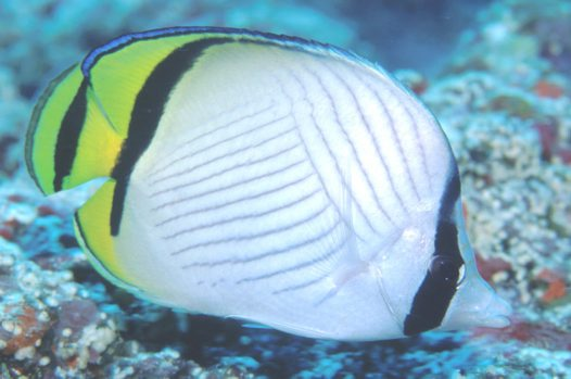 A Vagabond Butterflyfish at Steve's Bommie