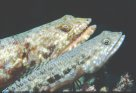 Variegated Lizardfish at Agincourt Reef