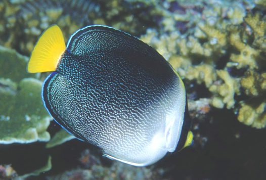 A Vermiculated Angelfish at Redang Island