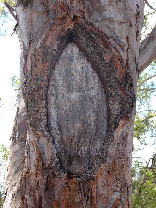 Aboriginal scarred tree, Wellington NSW