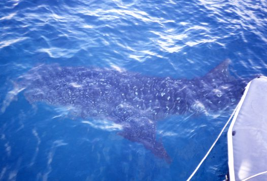 Whale Shark photographed on the FNQ field trip