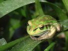 Green and Golden Bell Frog, Litoria aurea