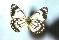 Adult Caper White Butterfly