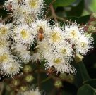 Angophora hispida and bee
