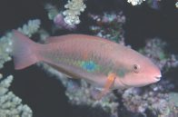 Whitespot Parrotfish at Wishbone Reef